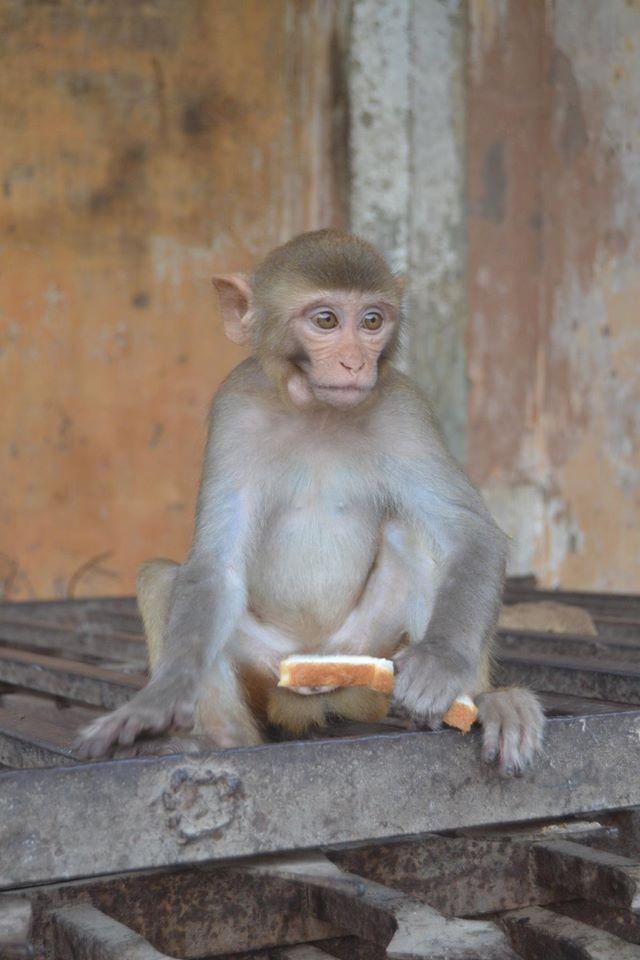scimmietta india