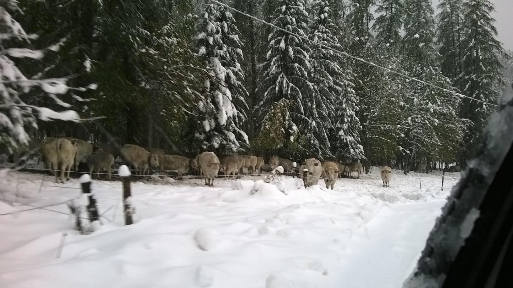 neve-mucche-pini